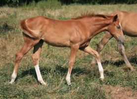 Warmblood Filly 4 .:Stock:. by Photopolis