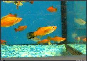 Fish Stock 0064 by phantompanther-stock