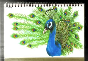 Peacock (COPIC Markers) by veternity