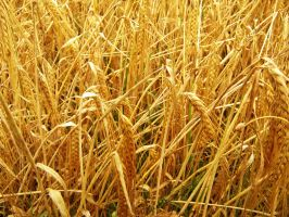 Golden Wheat by ItSurroundsMe