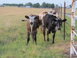MORE Longhorn Calves by chuckitty