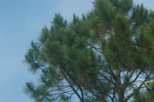rain droplets on pine needles by Colliequest