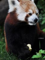 red panda by nari-me
