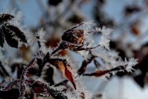 frosted rose by chrisravensar