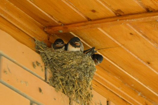 swallows nestlings by Cheery-Dashka