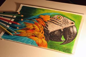 Drawing Parrot by keillly
