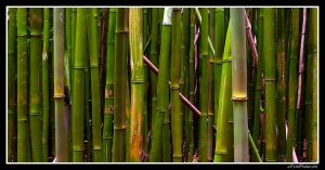 Bamboo. by aFeinPhoto-com