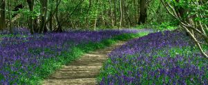 Bluebell woodland by LughoftheLongArm