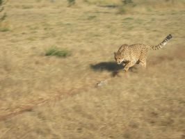 Cheetah running by Serendith