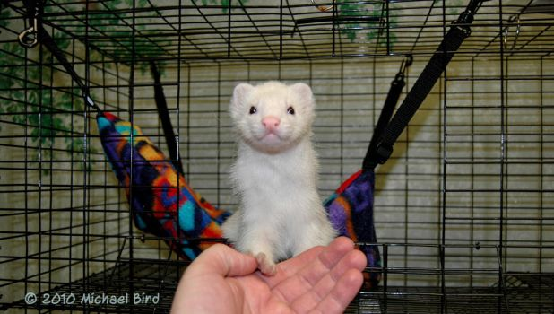 Rufus the ferret by HumaneFotos
