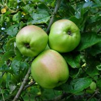 Apple Tree O by Kancano