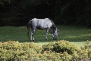 New forest horse 005 by eldris-stock