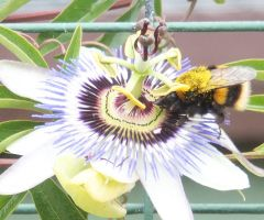 Passion Flower Bumblebee by Penguinking231