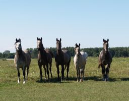 Show Horses by SolStock