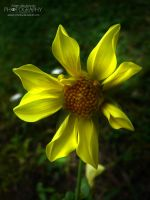 I'm yellow... by adunio-photos
