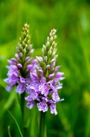 Some Heath Spotted Orchids by do7slash