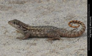 Curly Tail Lizard Stock 7 by Cassy-Blue