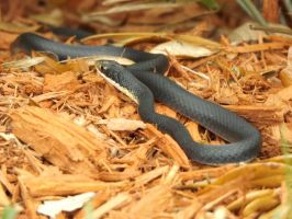 Black Racer by The-10th-Muse