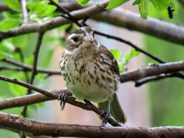this is a purple female finch:) by Nipntuck3