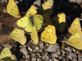 A Gathering of Orange Sulfur Butterflies by dmguthery
