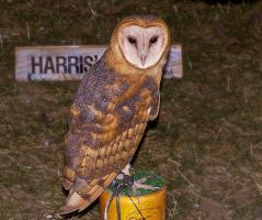 Pretty Barn Owl by 0124nathan