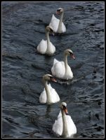 Swans Parade in Bruges by kanes