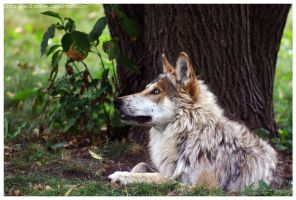 Mexican Wolf 031 by ShineOverShadow