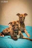 whippet puppies by yadira-szara