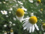 two camomiles by Aby-of-N-city