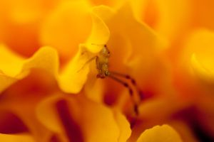 Spider in marigold petals by PyroDenny16
