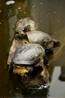 Turtle Symmetry by Ilman-Lintu