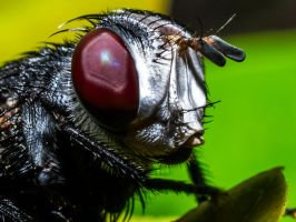 fly portrait... :) by ssabbath