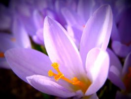 Spring flower by niwaj