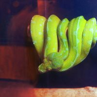 Green Tree Python by ClockworkMarionette