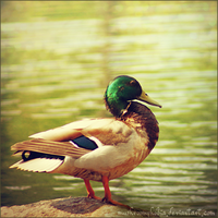 Mallard by mushroomphobia
