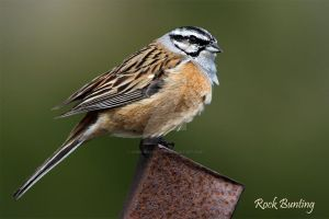 Confused - Rock Bunting by Jamie-MacArthur