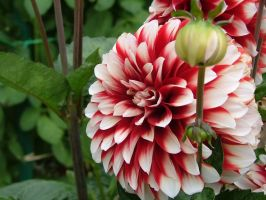 .stock: red and white dahlia. by guavon-stock