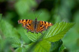 Comma Butterfly by svendo