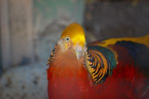 Golden pheasant 11 by Silver-she-wolf-14