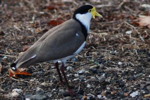 Spur winged plover 01 by 88-Lawstock