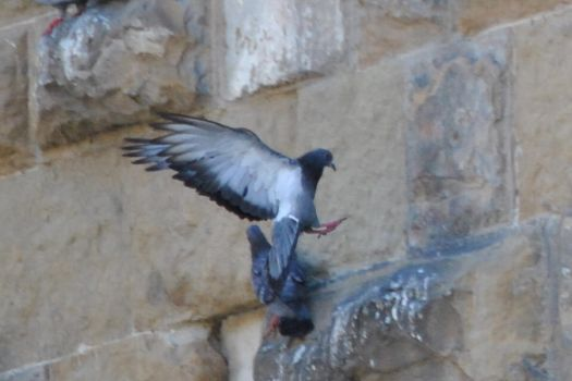 Pigeon 1.1 by mocking-turtle-stock