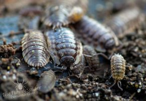 Isopods cuddling by TheFunnySpider