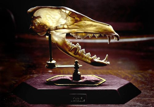 Coyote Skull Bissected by Meddling-With-Nature