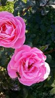 Pink Roses by NilRodi