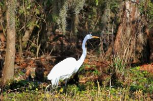 The Great White Egret by SalemCat