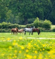 horses, buttercups and daises. by LubelleCreativeSpark