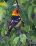 Western Tanager 2 by ParadigmParadox