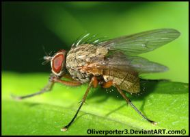 Red Eyed Fly by oliverporter3