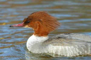 Female Mergus Merganser by janernn