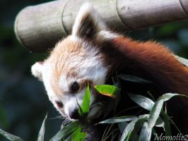 Red panda lunch by Momotte2